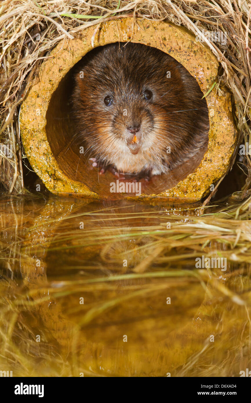 Water Vole hiding in pipe - Stock Image