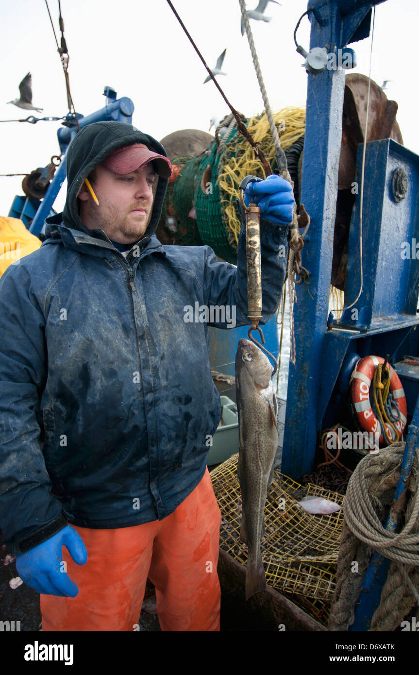 Fisheries inspector weighs undersized Atlantic Cod fish (Gadus morhua on deck of fishing dragger. Stellwagen Banks, - Stock Image