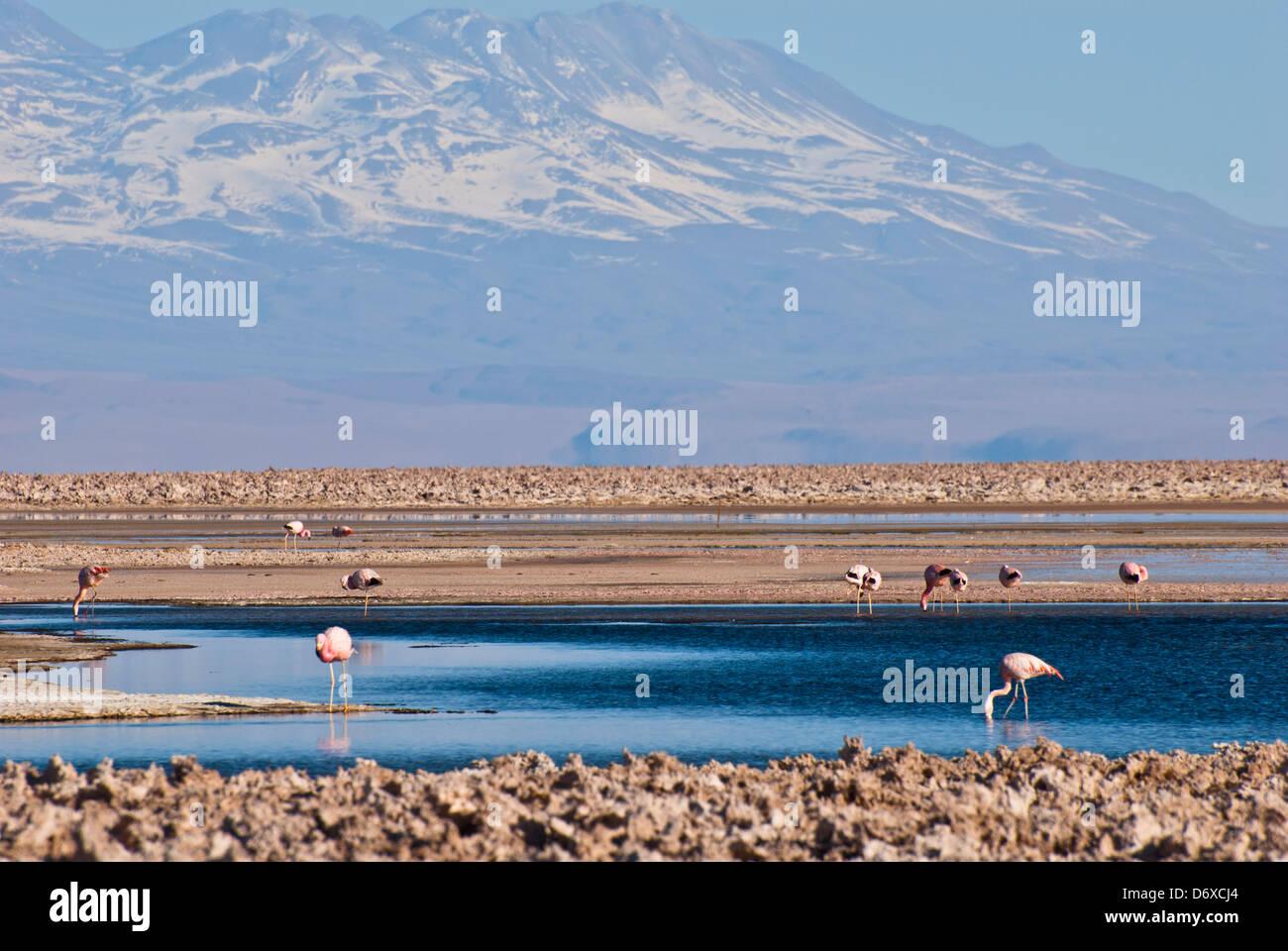 Chilean Flamingo, Laguna Chaxa, Salar de Atacama, Atacama Desert, Chile, South America - Stock Image