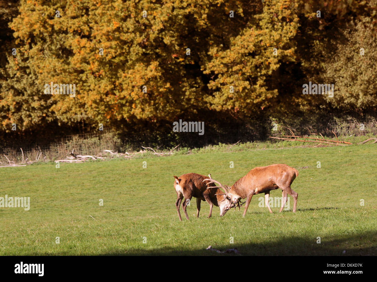 Red deer on forest glade in the autumn - Stock Image