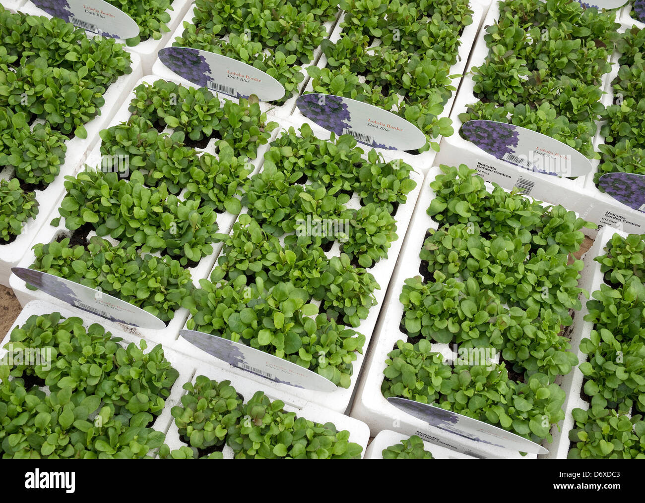 lobelia bedding plants in nursery - Stock Image