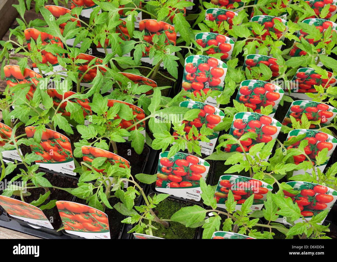 tomato plants in nursery - Stock Image