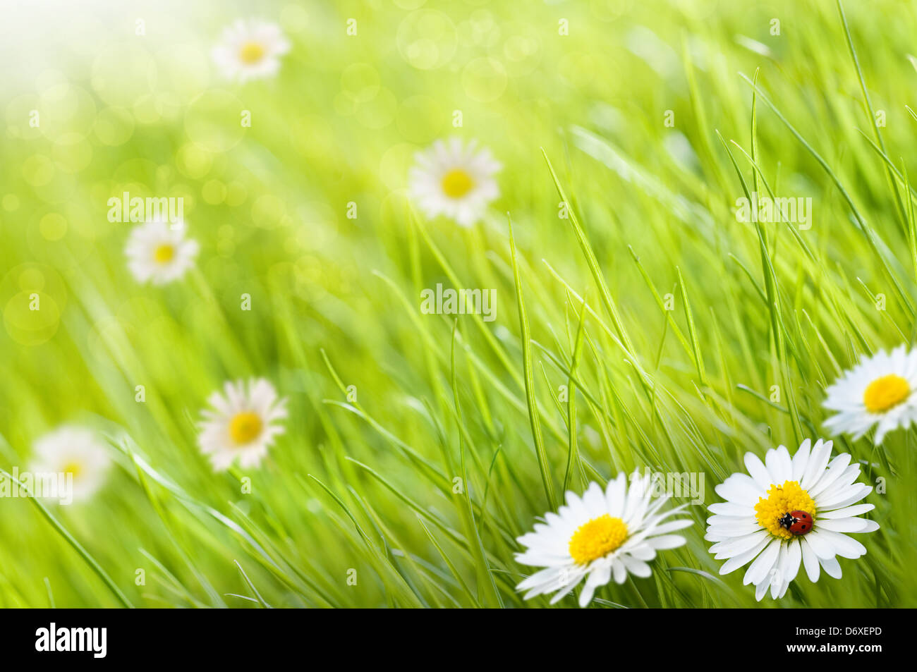 Grass background with daisies flowers and one ladybird this is a grass background with daisies flowers and one ladybird this is a sunny day image is blurry on the left side for copy space izmirmasajfo