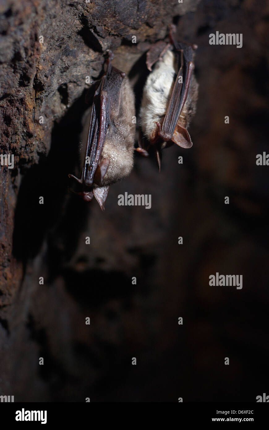 Common bats hibernating in a cave - Stock Image