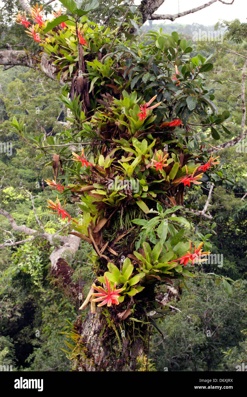 Bromeliads Growing On A Branch Of A Large Ceibo Tree Above