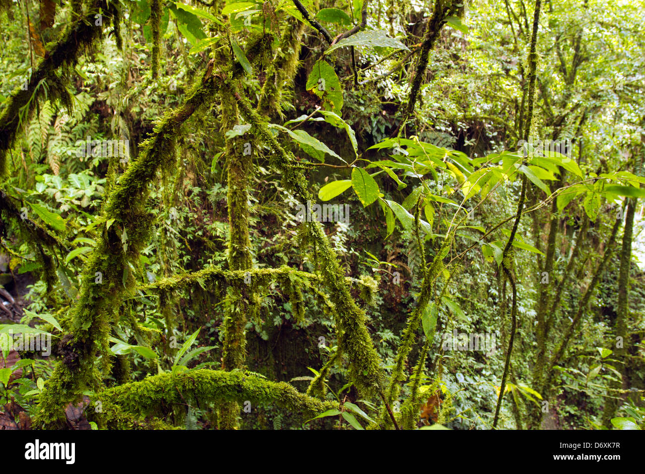 Interior of mossy cloudforest in the Andes, Ecuador - Stock Image