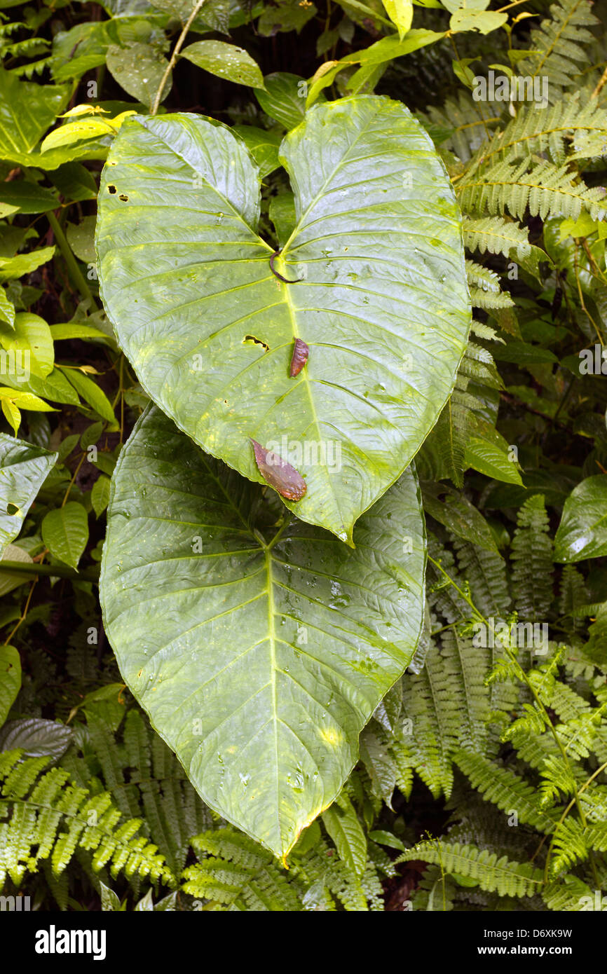 Giant aroid leaves in cloudforest in the Andes, Ecuador - Stock Image