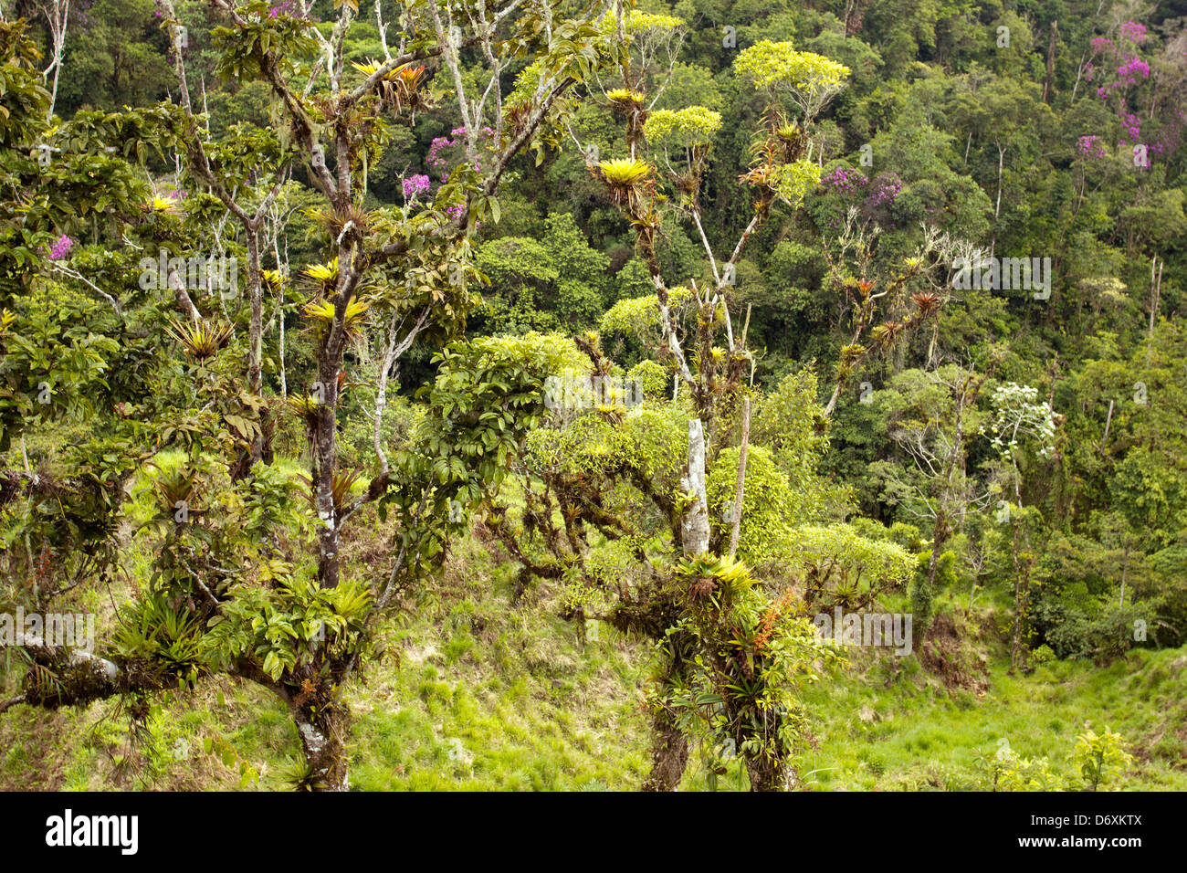 Cloudforest on the Amazonian slopes of the Andes in Ecuador - Stock Image