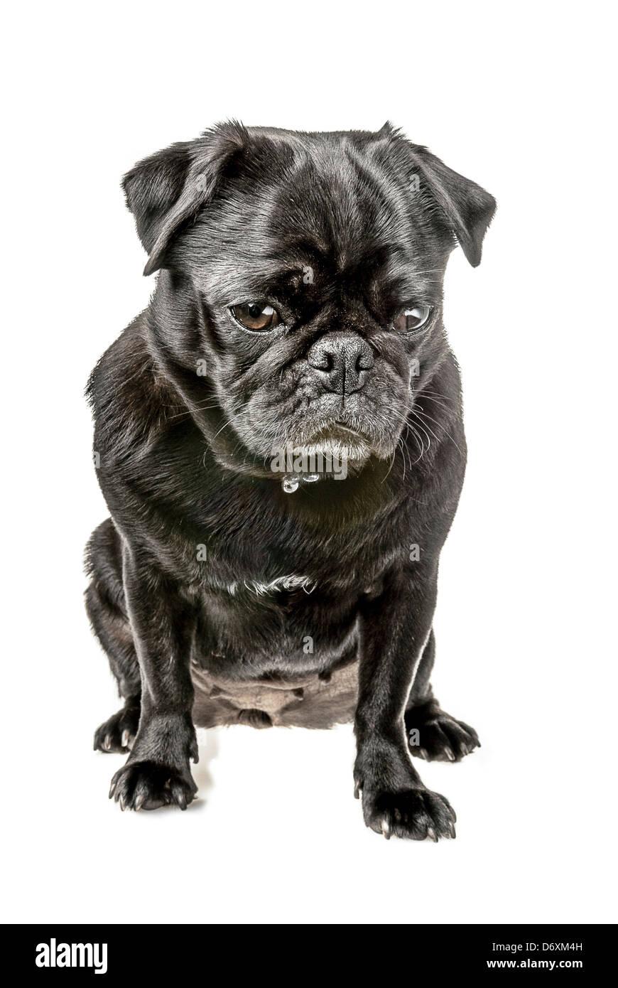 Black pug, sitting with a sad look - Stock Image