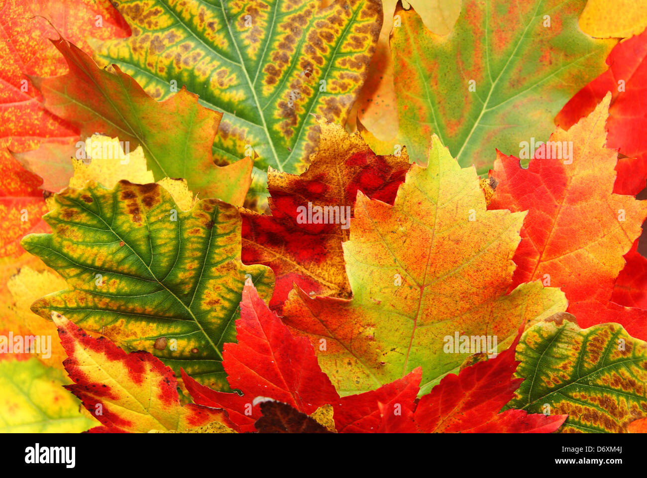 coloured fresh leaf of autumn as background - Stock Image