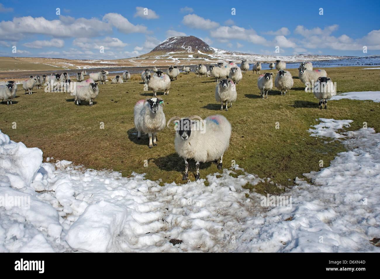 Sheep at Slemish, County Antrim, Northern Ireland. - Stock Image