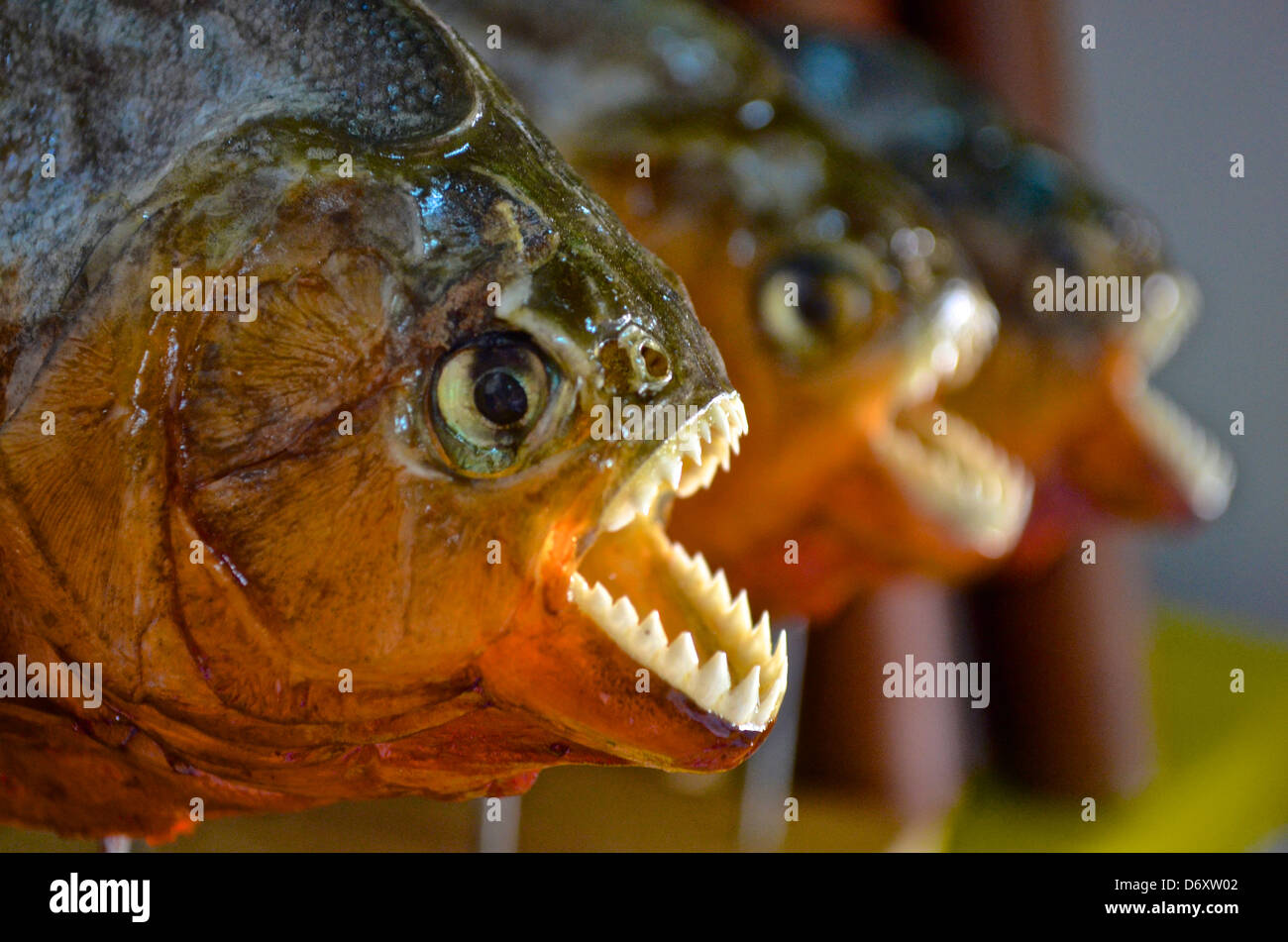 Piranhas on sale at a tourist market in the Amazon Stock