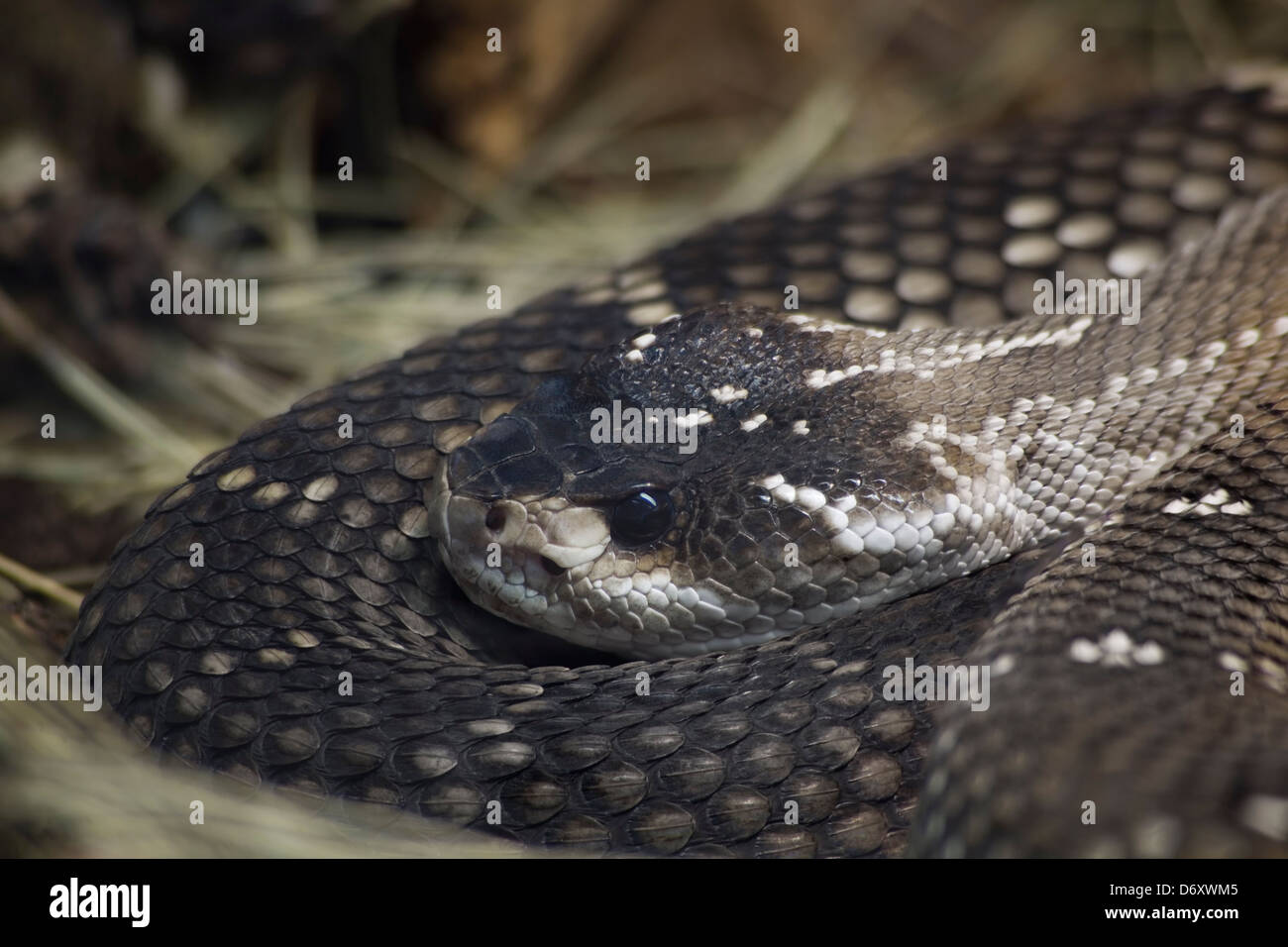 Mexican Black Tailed Rattlesnake, Crotalus Molossus Nigrescens Stock Photo