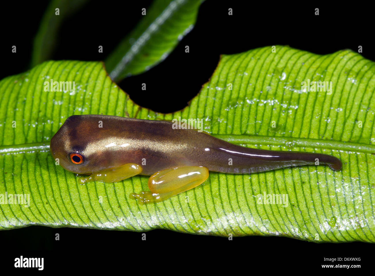 Treefrog tadpole changing into a frog - Stock Image