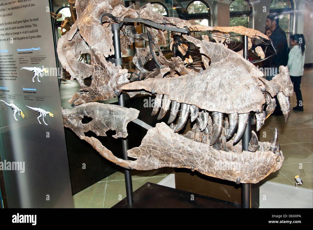 Dinosaur Skeleton, Natural History Museum of Los Angeles - Stock Image