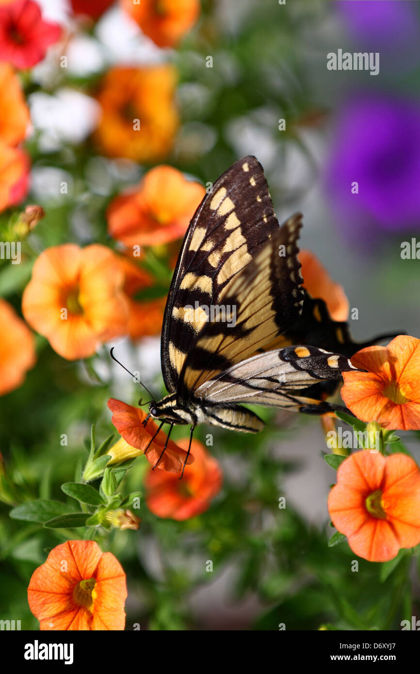 Eastern Tiger Swallowtail butterfly - Stock Image