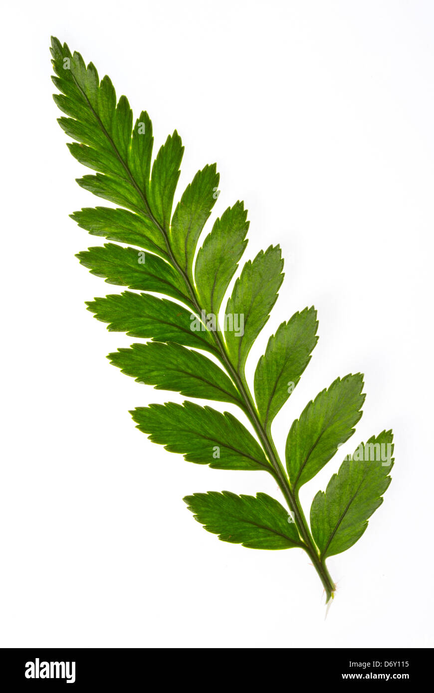 Close up part of foot fern isolated on white background - Stock Image