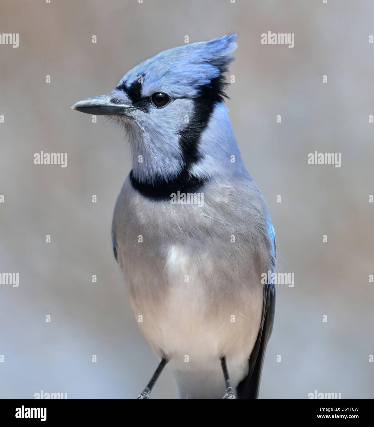 Blue Jay Bird,Close Up Stock Photo