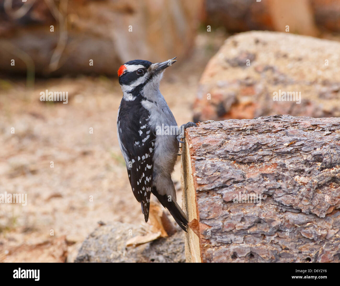 Hairy Woodpecker gripping on a freshly cut round of firewood with watchful eye - Stock Image