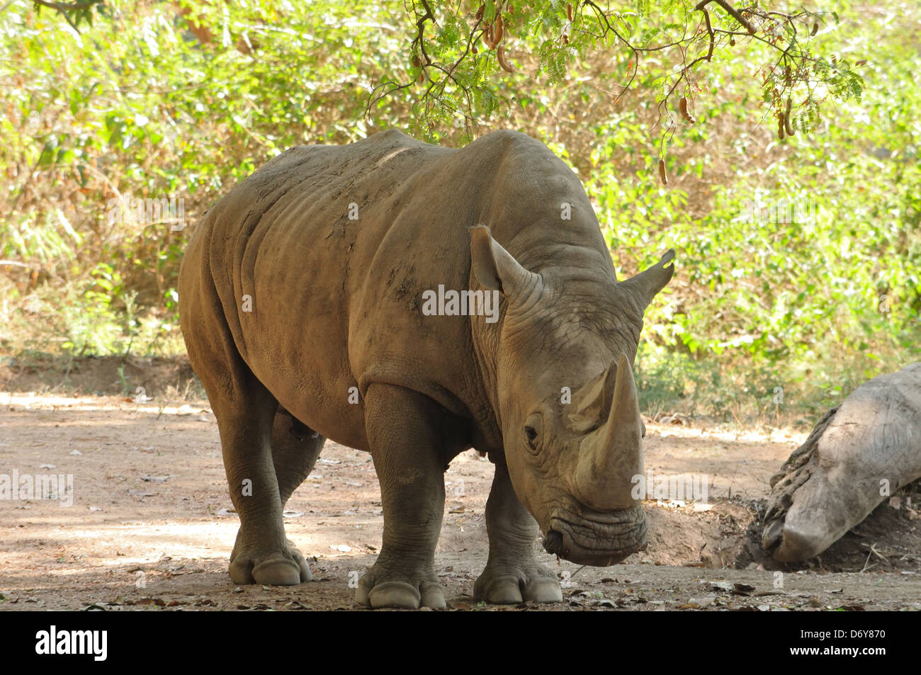 Indian Rhinoceros ( Rhinoceros unicornis ) - Stock Image