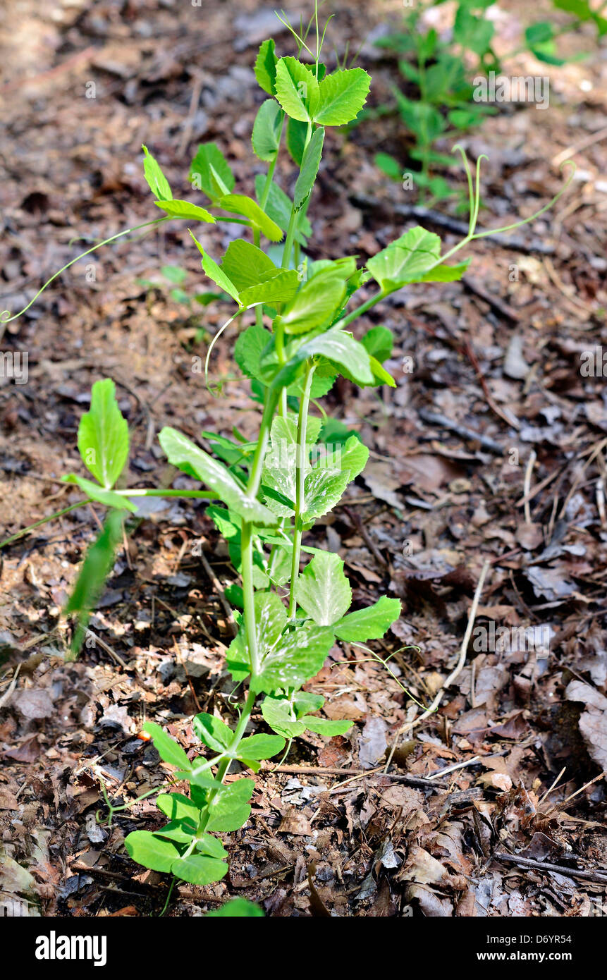 A new sweet pea plant emerging from the soil in a garden. No pod yet. - Stock Image