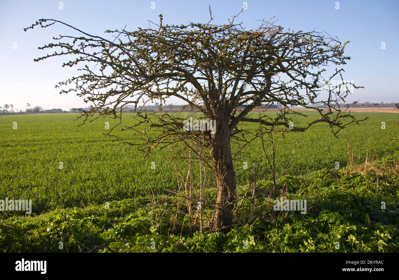 Straggly hedging bush shaped by the wind, Alderton, Suffolk, England - Stock Image