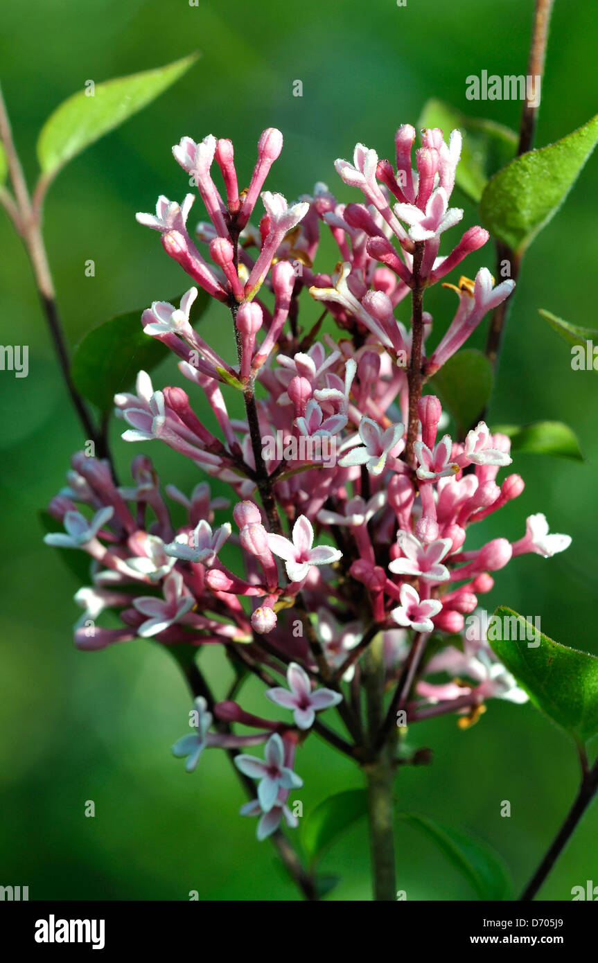 Lilac blossom just coming into flower - Stock Image