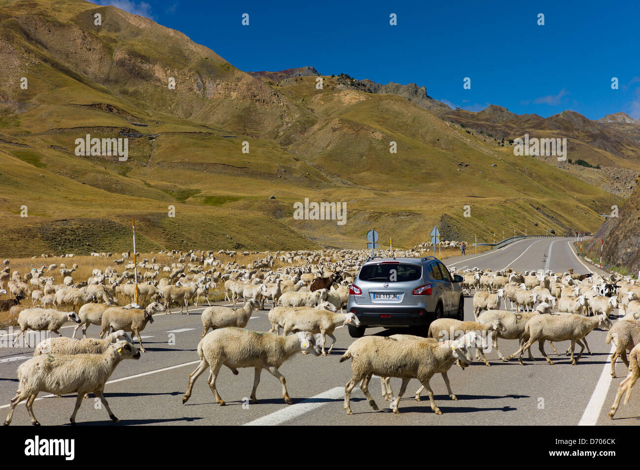 Sheep and goats roaming around Nissan Qashqai 4-wheel drive vehicle on road in Val de Tena in the Pyrenees Northern - Stock Image