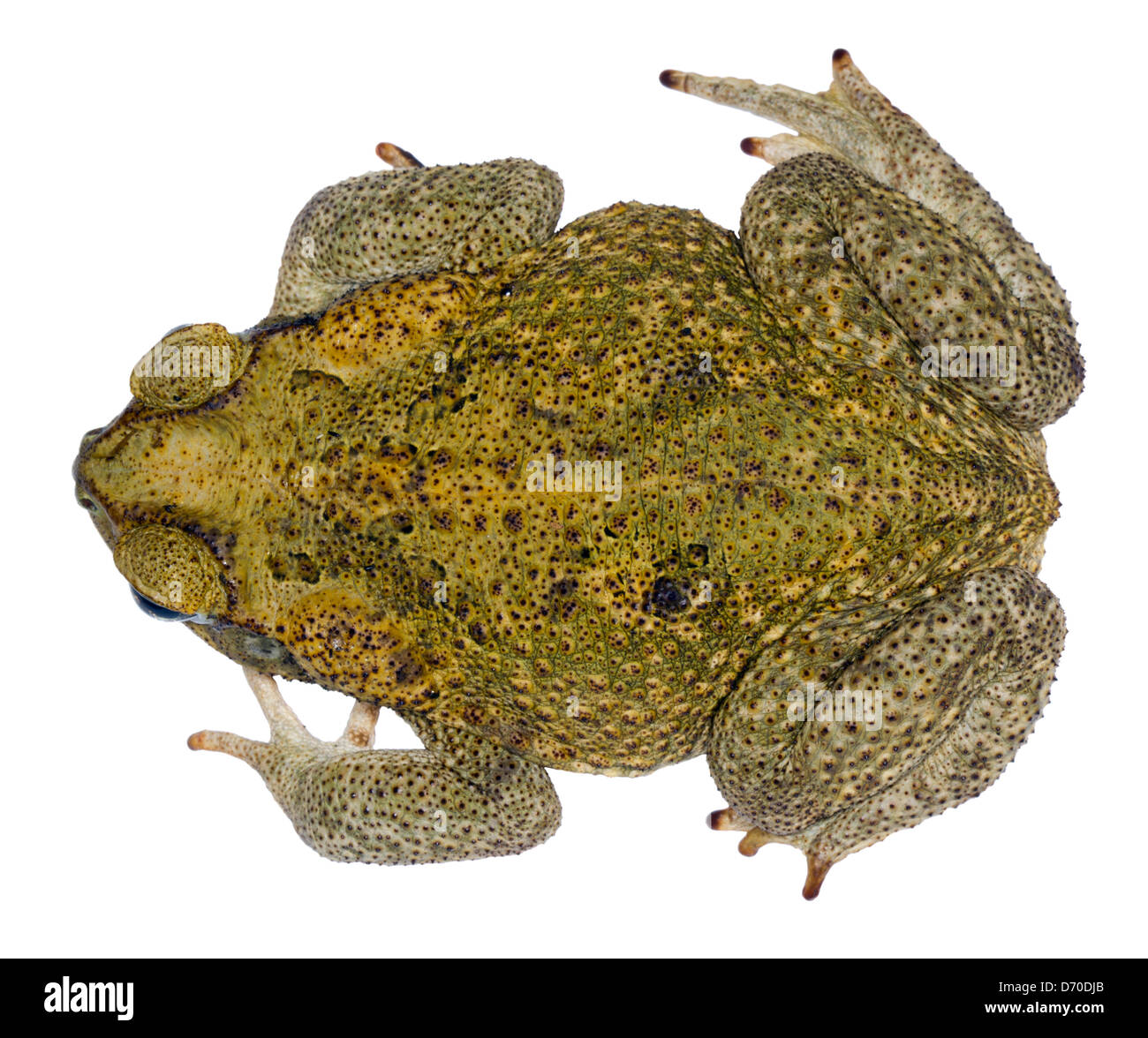 Cane Toad (Bufo marinus) Native to the Amazon Basin but an invasive pest elsewhere - Stock Image