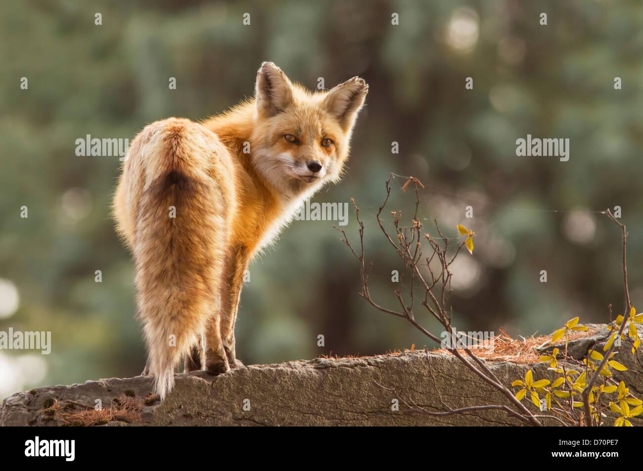 Female red fox in the morning light - Stock Image