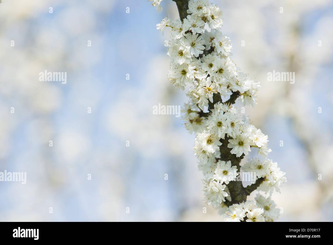 Prunus Spinosa Plena. Double flowered Blackthorn / Sloe tree blossom - Stock Image