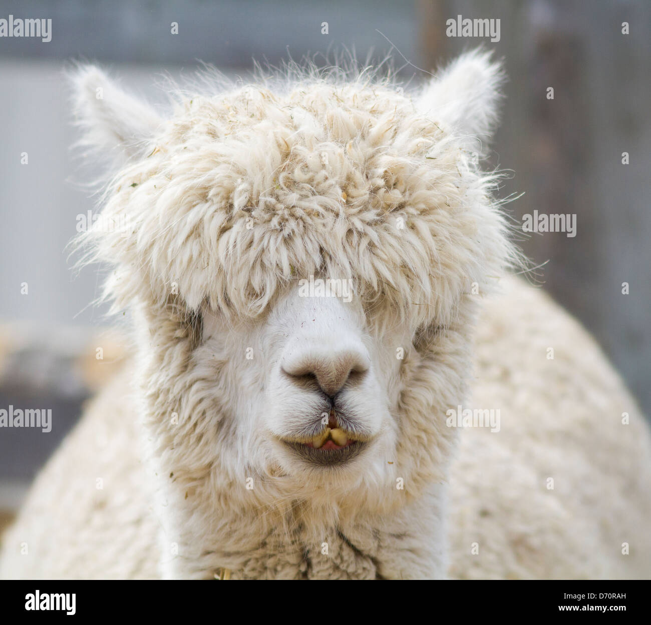 A curious white alpaca in winter. - Stock Image