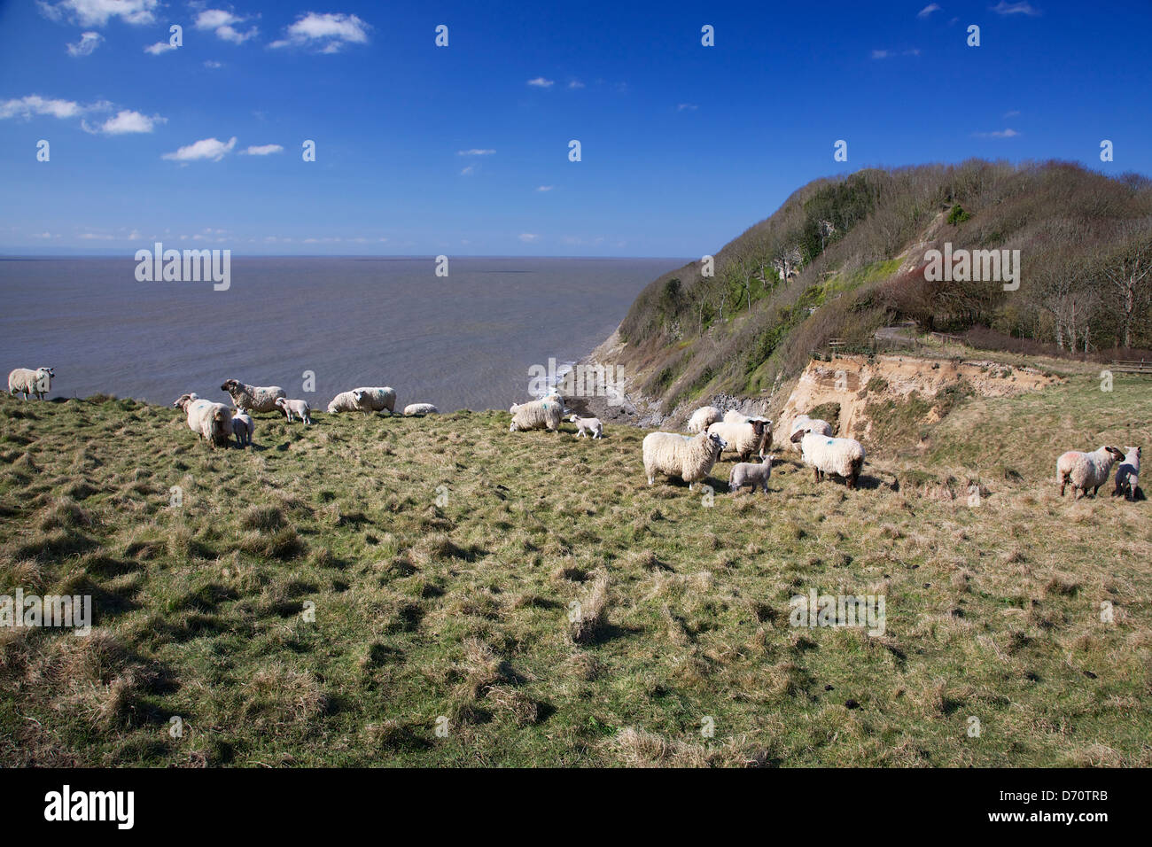 Ewes and lambs at Southerndown cliffs overlooking the Bristol Channel, South Wales, UK - Stock Image