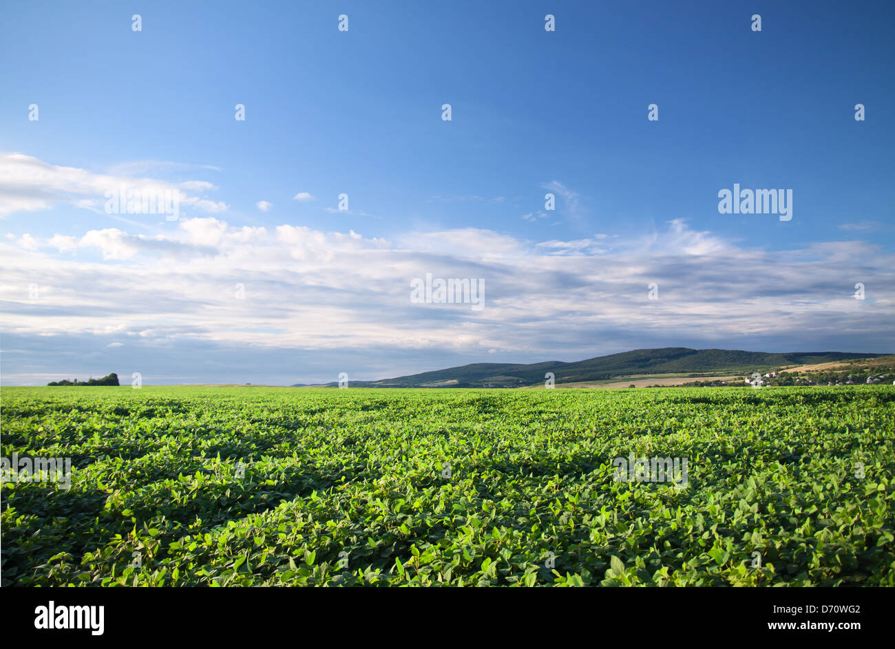 Green cultivated soy field in late summer - Stock Image