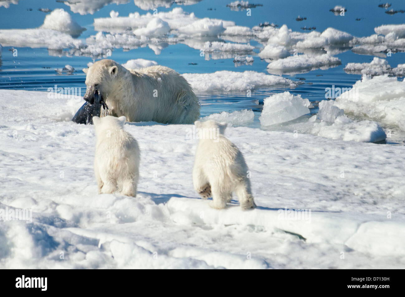 #4 in a series of ten images of a mother Polar Bear, Ursus maritimus, stalking a Seal to feed her twin Cubs, Svalbard, - Stock Image