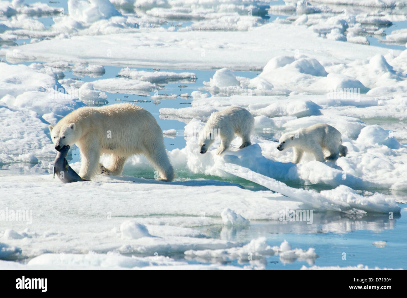 #5 in a series of images of a mother Polar Bear, Ursus maritimus, stalking a Seal to feed her twin Cubs, Svalbard, - Stock Image