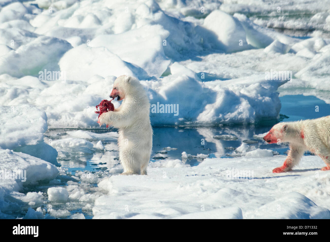 #8 in a series of images of a mother Polar Bear, Ursus maritimus, stalking a Seal to feed her twin Cubs, Svalbard, - Stock Image