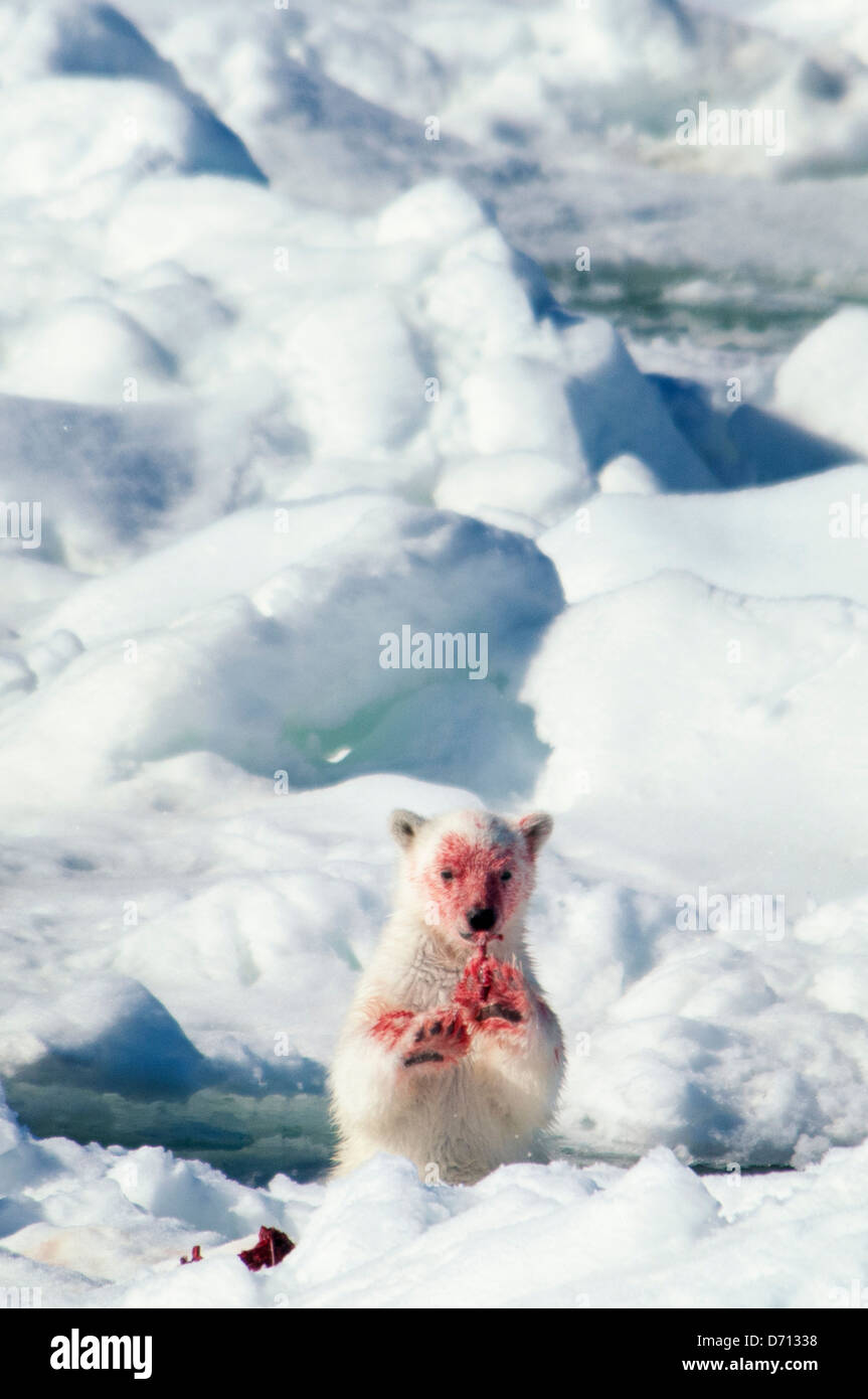 #9 in a series of images of a mother Polar Bear, Ursus maritimus, stalking a Seal to feed her twin Cubs, Svalbard, - Stock Image