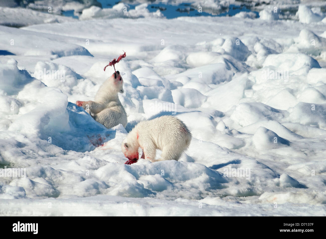 #10 in a series of images of a mother Polar Bear, Ursus maritimus, stalking a Seal to feed her twin Cubs, Svalbard, - Stock Image