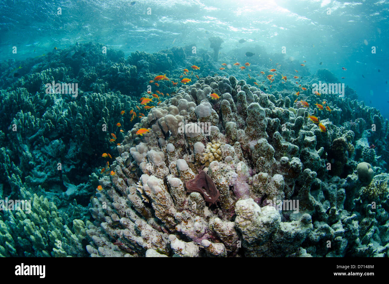 Sea Goldies swimming on a reef in the Red Sea in Egypt. - Stock Image