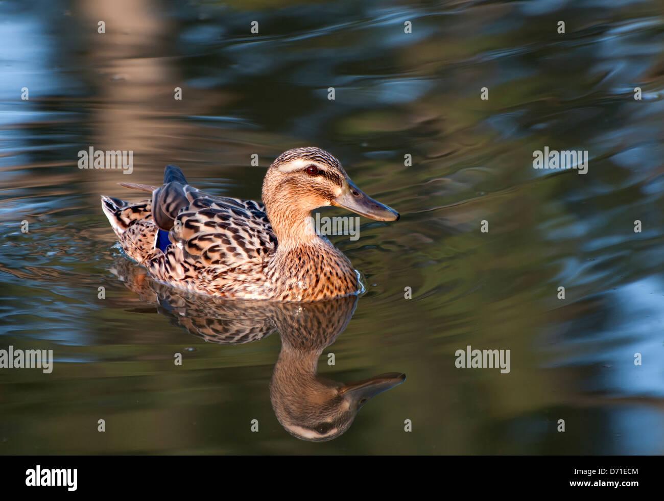 Mallard female swimming - Stock Image