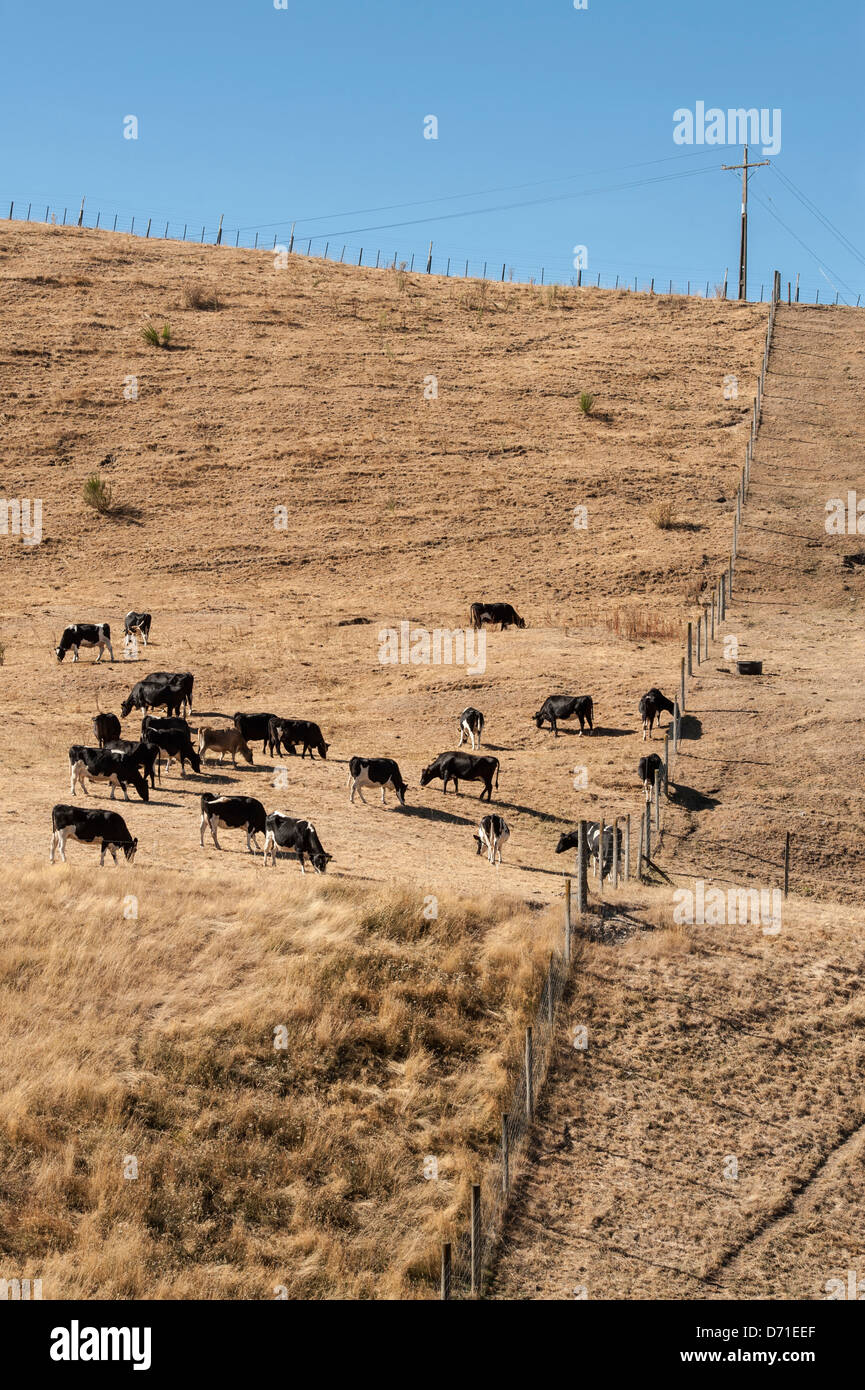 Cattle on parched farmland north of Taupo during what was declared a drought in parts of North Island, New Zealand - Stock Image