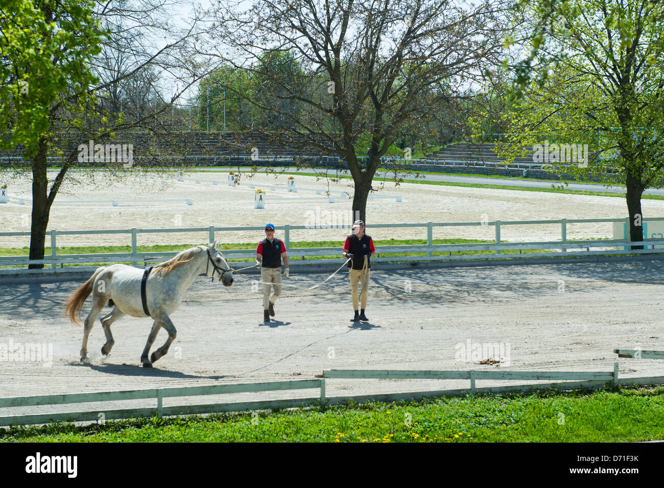 the white  horse training in Lipica farms - Stock Image