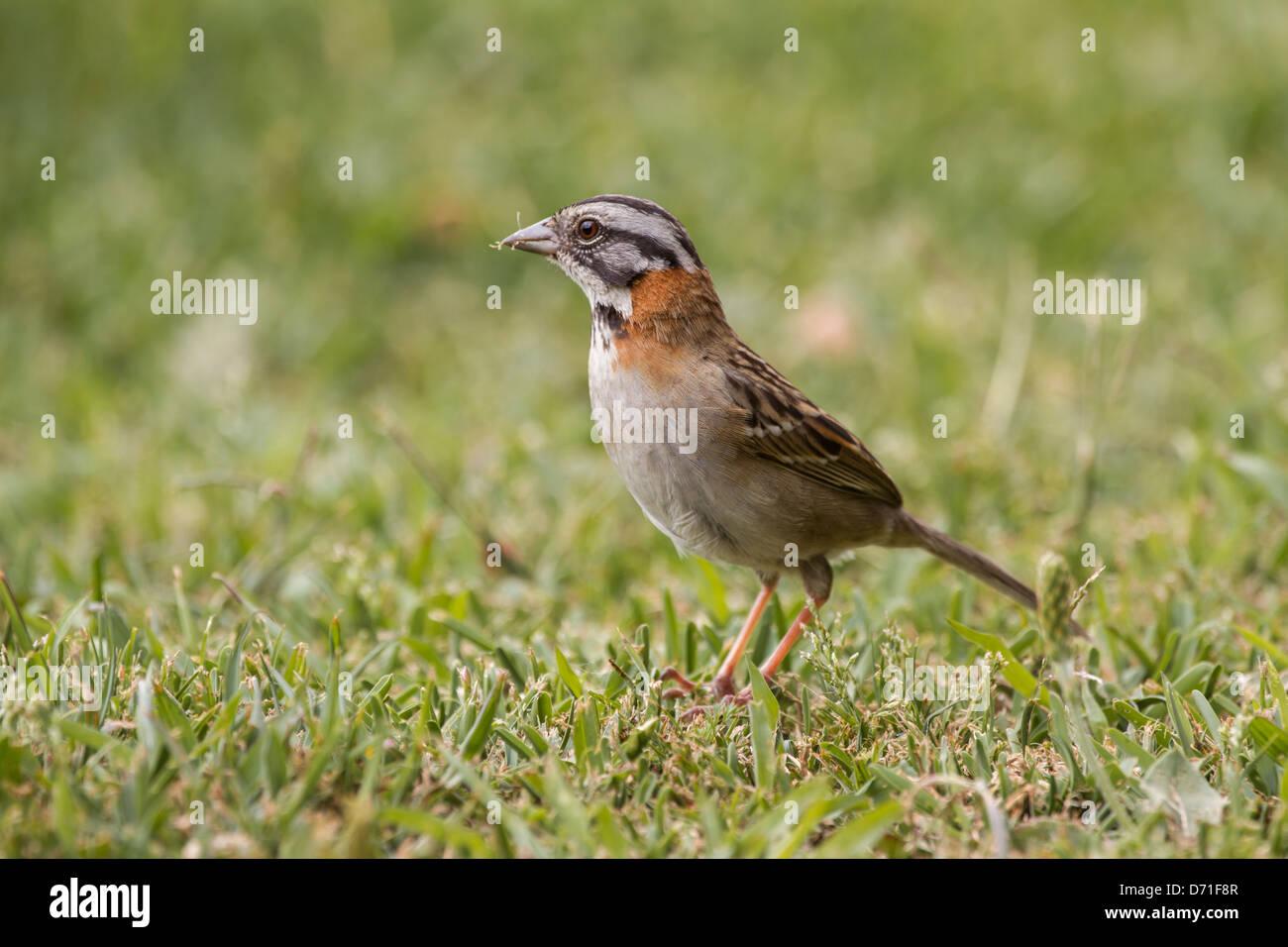 Rufous-collared Sparrow (Zonotrichia capensis) Stock Photo