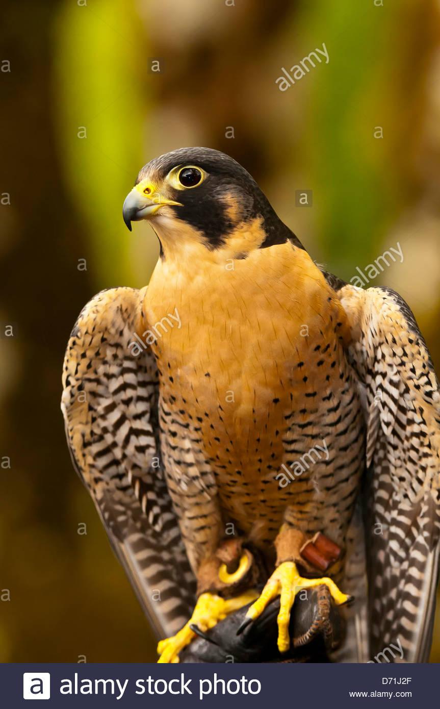 Peregrine falcon (Falco peregrinus), Deer Mountain Tribal Hatchery and Eagle Center, Ketchikan, Alaska USA - Stock Image
