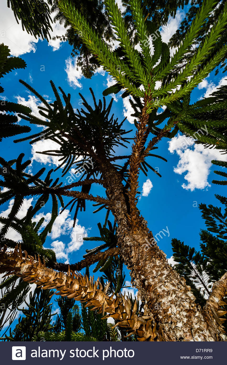 Araucaria (an evergreen coniferous tree), Parc de la Riviere-Bleue (Blue River Provincial Park), Grande Terre, New - Stock Image