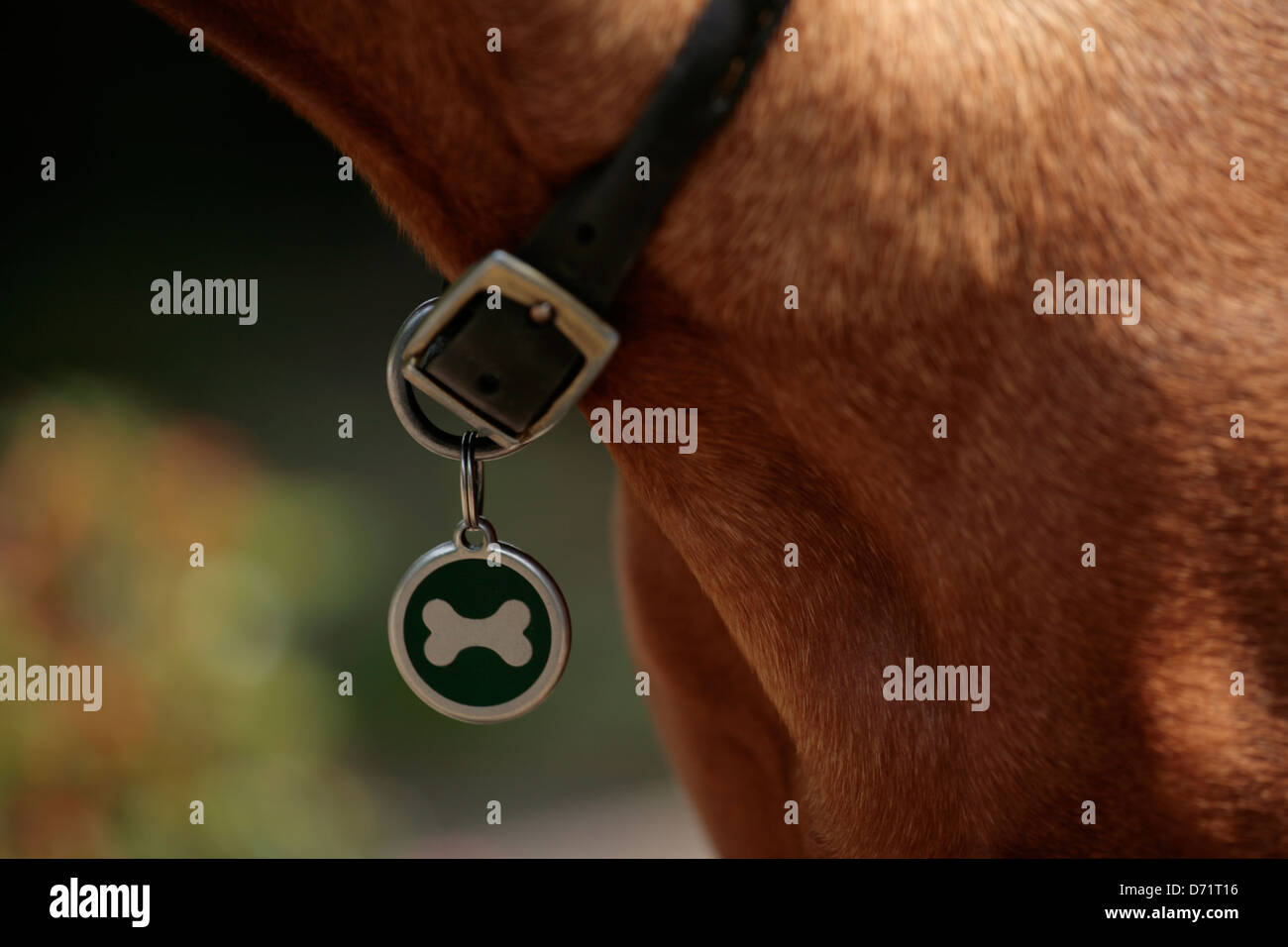 Close up of Bone shaped motif on dog collar - Stock Image