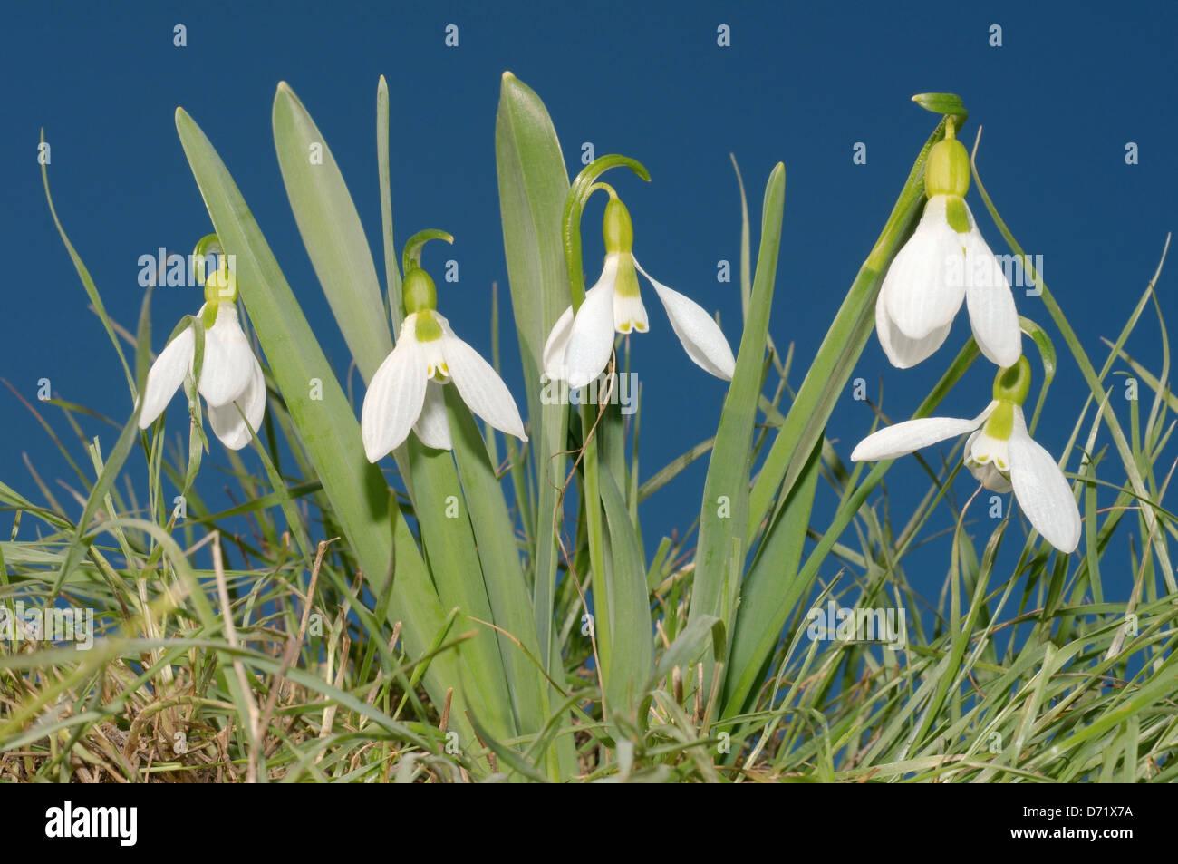 Galanthus or Snowdrop (Galanthus elwesii) Odessa region, Ukraine - Stock Image