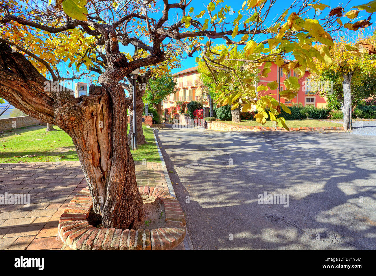 Tree with yellow and green leaves and old trunk grows in the street in small town of Santa Vittoria D'Alba in - Stock Image