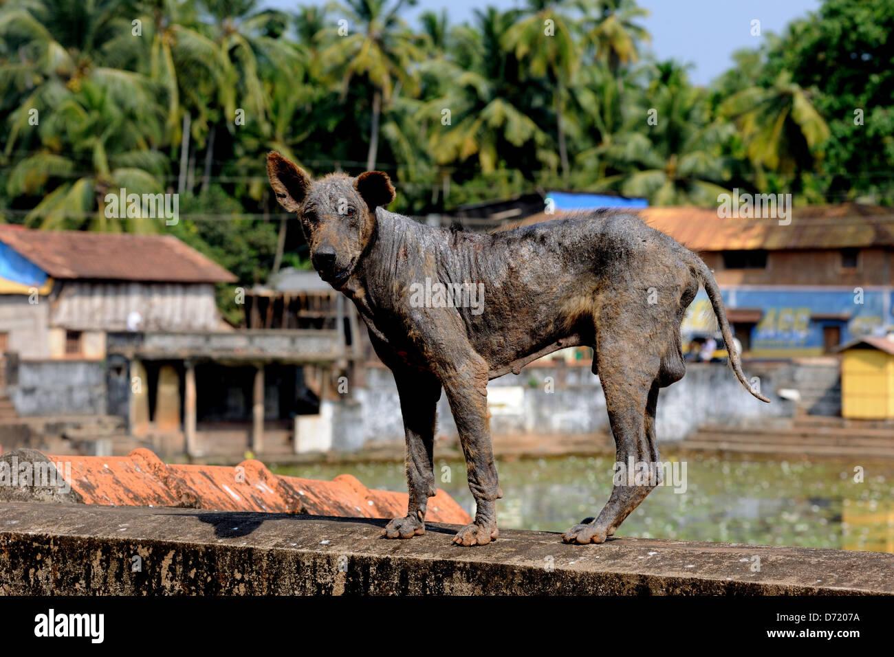 Sick dog,flea ridden,in India - Stock Image